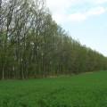 大正のカシワ林