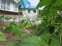 白花豆開花
