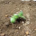 『枝豆を育てよう』~枝豆成長日記②~