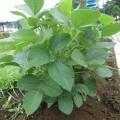『枝豆を育てよう』~枝豆成長日記⑥~